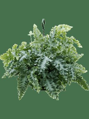 Phlebodium davana Hanger 20/17 55 - Plant