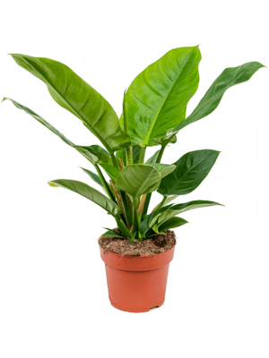 Philodendron `Imperial green'