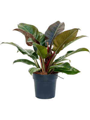 Philodendron `Imperial red'