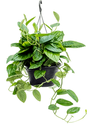 Philodendron (Monstera) karstenianum
