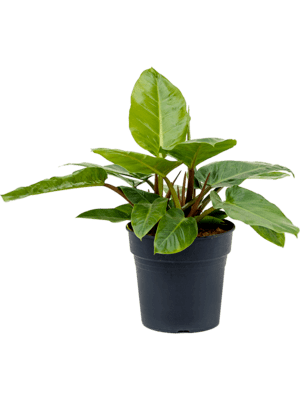 Philodendron melinonii