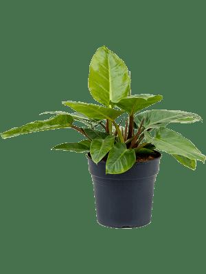 Philodendron 'Melinioni' Bush 27/25 70 - Plant