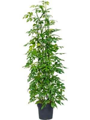 Philodendron 'Minima' Draadzuil 30/27 155 - Plant