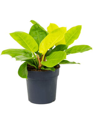 Philodendron 'Moonlight' Bush 27/25 50 - Plant