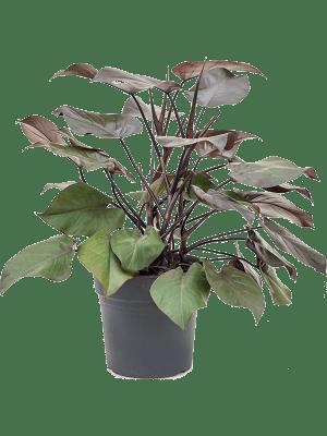 Philodendron purple congo
