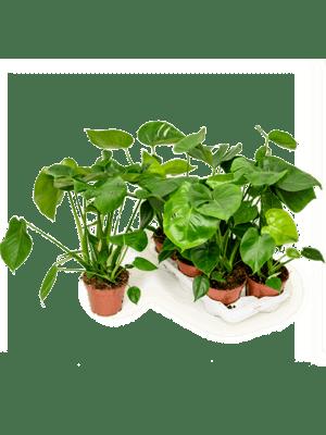 Philodendron pertusem (monstera) 6/tray