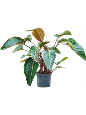 Philodendron red beauty