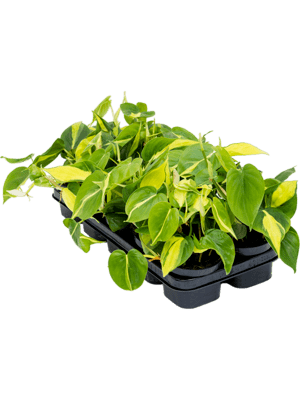Philodendron brasil 10/tray