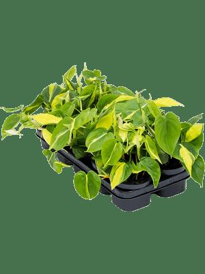Philodendron scandens 'Brasil' 10/tray Hanger 12/9 20 - Plant