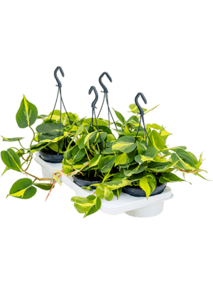 Philodendron brasil 4/tray