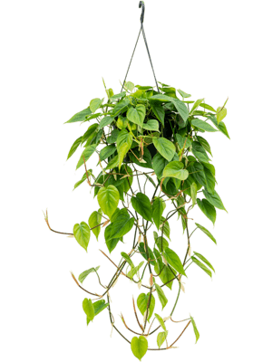 Philodendron scandens Ampel 28/17 50 - Pflanze