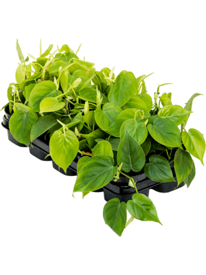 Philodendron scandens 10/tray Ranker 12/10 20 - Pflanze