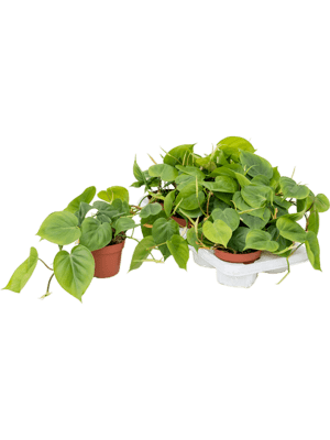 Philodendron scandens 8/tray