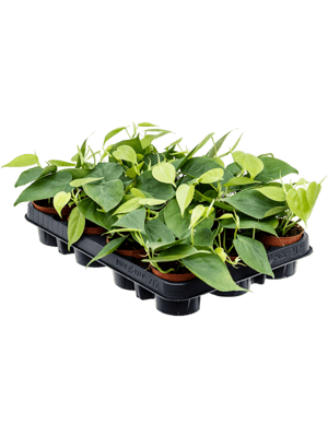Philodendron scandens 12/tray
