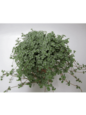 Pilea glauca 8/tray  11/9 20 - Plant
