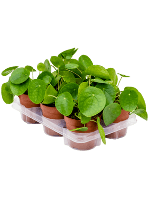 Pilea peperomioides 6/tray  13/10 25 - Plant