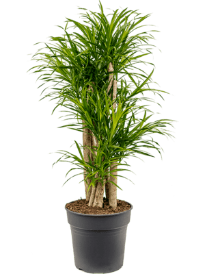 Pleomele anita variegata