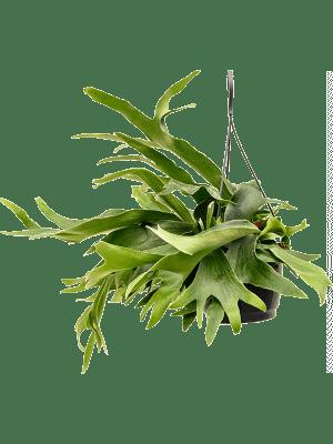 Platycerium bifurcatum Hanger 20/17 50 - Plant