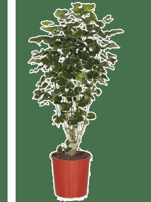 Aralia (polyscias) balfouriana
