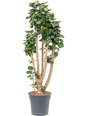 Aralia (polyscias) 'Fabian' Ramifié 30/27 130 - Plante