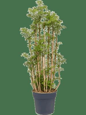 Aralia (polyscias) ming
