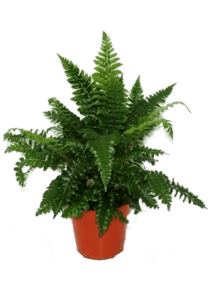 Polystichum polyblephanum 10/tray