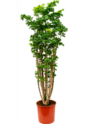 Aralia (polyscias) roble