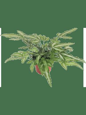 Pteris cretica albolineata 12/tray
