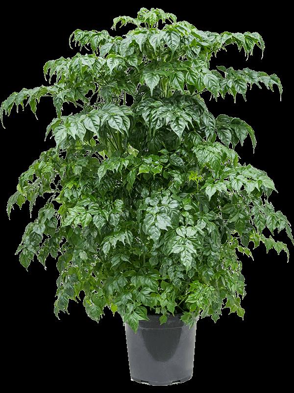 Radermachera sinica Toef 24/21 90 - Plant - Main image