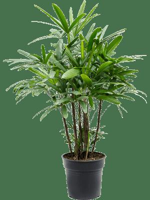 Rhapis excelsa Toef 27/23 100 - Plant