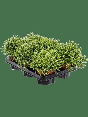 Rhipsalis burchellii 6/tray
