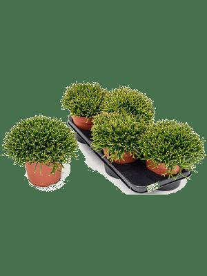 Rhipsalis burchellii 4/tray