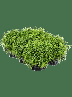 Rhipsalis baccifera oasis 6/tray