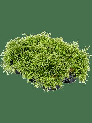Rhipsalis clavata 6/tray