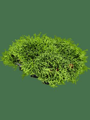 Rhipsalis heteroclada 6/tray