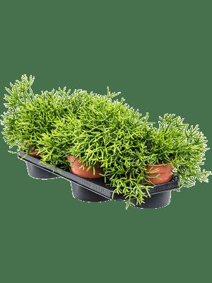 Rhipsalis heteroclada 4/tray