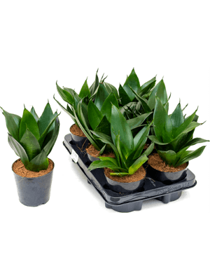 Sansevieria black dragon 6/tray