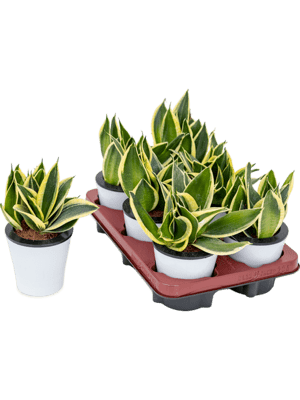 Sansevieria black star 6/tray