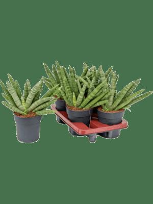 Sansevieria bocel 4/tray