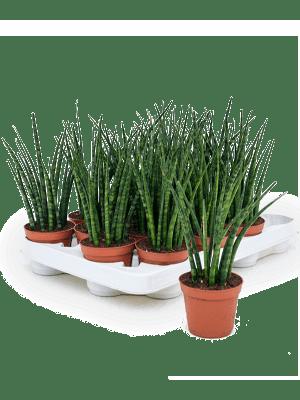 Sansevieria fernwood mikado 16/tray