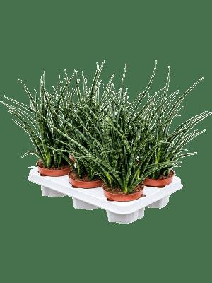 Sansevieria fernwood punk 6/tray