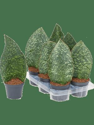 Sansevieria masiona congo 6/tray