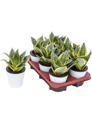 Sansevieria gold star 6/tray