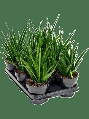 Sansevieria kirki friends 8/tray