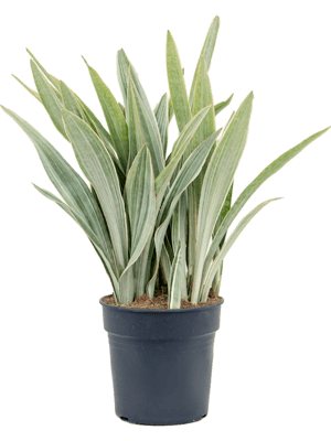 Sansevieria metallica