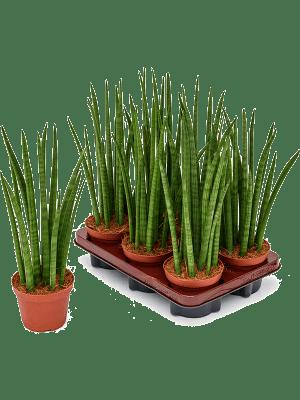 Sansevieria spikes 6/tray