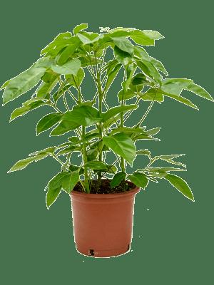 Schefflera amate
