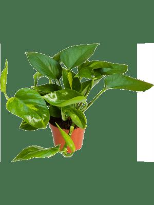 Scindapsus (epipremnum) aureum 12/tray