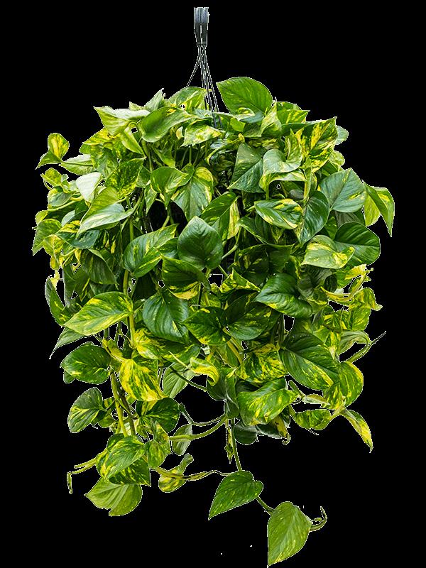 Scindapsus (epipremnum) 'Aureum' Hanger 25/20 60 - Plant - Main image