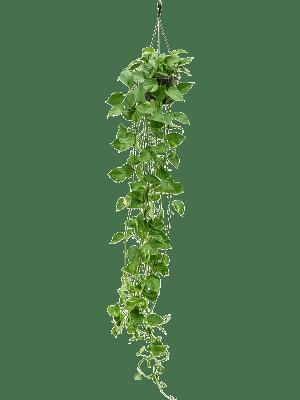 Scindapsus (epipremnum) 'Aureum' Hanger XL (150) 25/20 50 - Plant